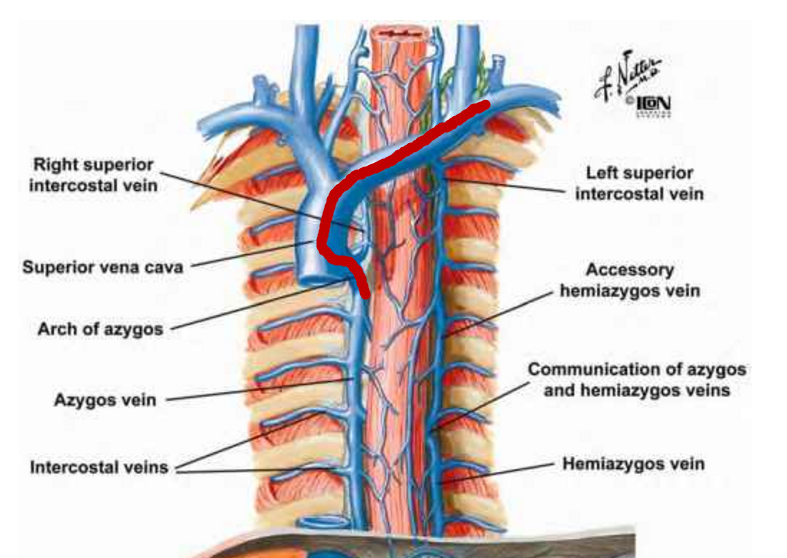Azygos on anatomy of thoracic cavity