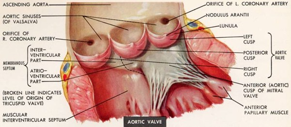 BioBookPLANTANAT in addition Histology Lab Slides additionally Meditronics wordpress further Plant Tissues besides Anterior View Of The Cubital Fossa Showing The Super Fi Cial Veins A Surface fig22 278696184. on vascular function lab